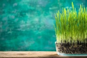 Spring grass growing in pot, hello spring concept